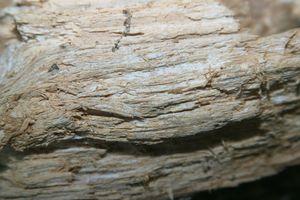 Eichenporling: Faseriges, helles Holz, verursacht durch einen Weißfäuleerreger