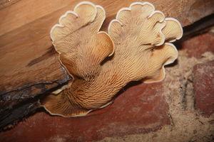 Muschelkrempling:Fruchtkörper wächst aus der Fuge zwischen Deckenbalken und Mauerwerk