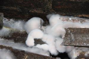 Echter Hausschwamm: Watteartige Myzelpolster am Holz auf einem Kellerfußboden