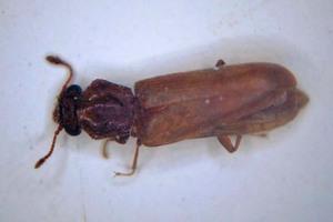 Brauner Splintholz‑<br />käfer, etwa 7mm lang