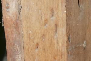 Angeschnittene Fraßgänge vom Eichenbock am Eichen-Eckstiel eines Kirchturms