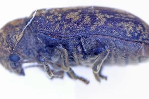 Ausgewachsener Nagekäfer mit der gescheckten Struktur auf den Flügeldecken
