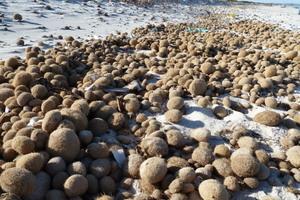 An den Küsten Süditaliens, Tunesiens, Albaniens oder Griechenlands bedecken die so genannten Neptunbälle ganze Strände und werden von Baggern abtransportiert<br />Foto: NeptuTherm