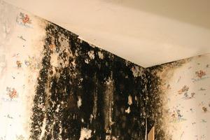 Tapeten und andere organische Materialien dienen Schimmelpilzen als idealer Nährboden
