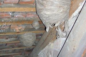 Voraussetzung für das Auftreten von Kugelkäfern ist zum Beispiel ein solches verlassenes Wespennest. Daher tauchen die Käfer eher in Altbauten auf